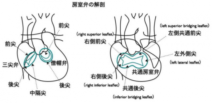 房室弁の解剖